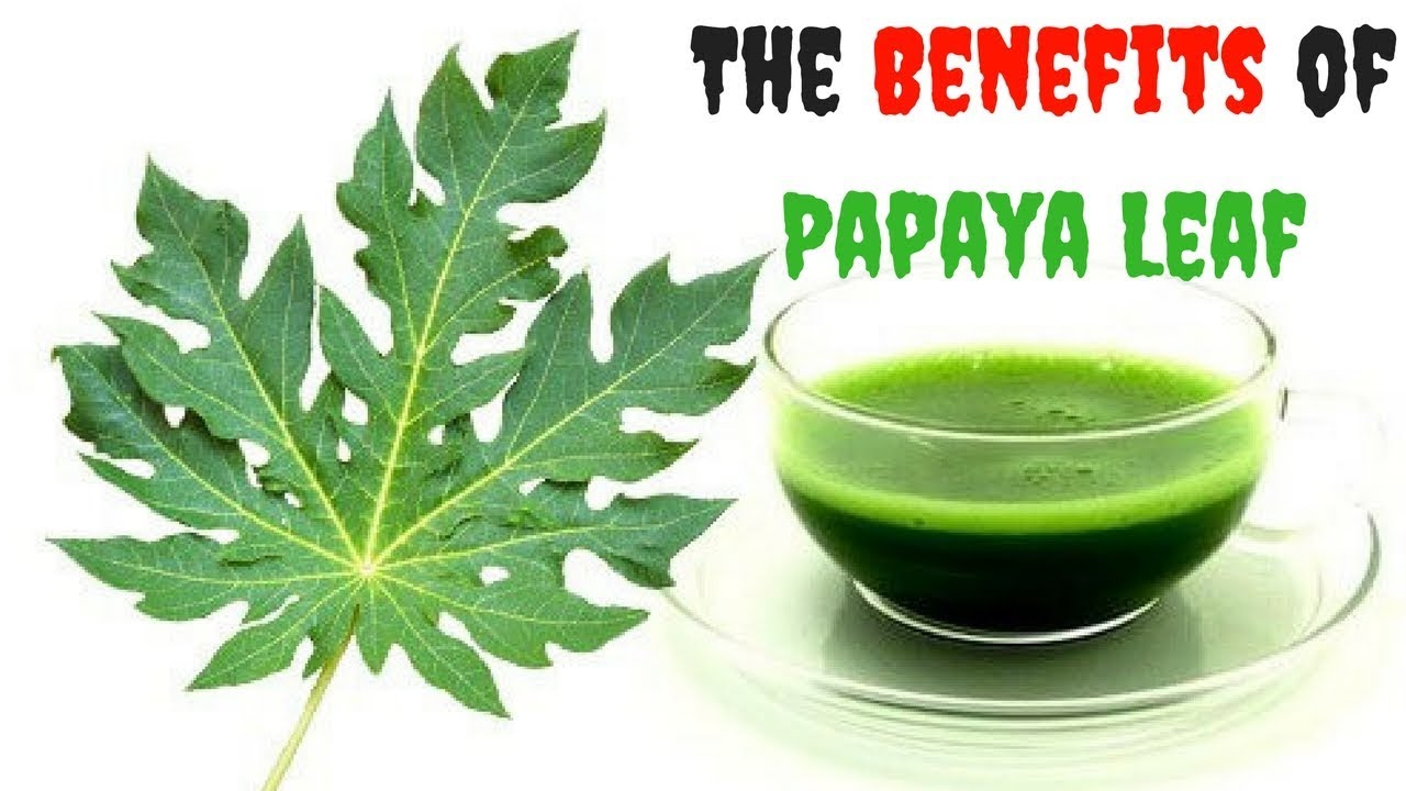 The Benefits of Papaya Leaf – Have Papaya Leaf Juice And Cure These Health Issues – clickbank review 👨⚕️